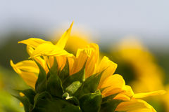 Sun into a Flower Stock Images