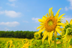 Sun flower. Sunflower in field Stock Photo
