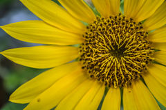 Sun Flower. Sunflower Helianthus annuus L. is an annual plant of the tribe-kenikiran marigolds Asteraceae The popular use, both as an ornamental plant and oil stock photography