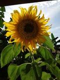 Big Sun flower royalty free stock photography