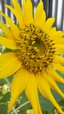 Sun flower. Sunflower yellow flower petal flowers with large black and yellow stamens Stock Photo