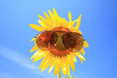 The Sun of Flower with sunglasses Stock Photos