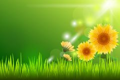 Sun flower and sunlight with green grass Royalty Free Stock Images