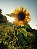 Sun flower at sunset Royalty Free Stock Image