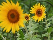 Sun Flower In Tilt Shift Lens Royalty Free Stock Images