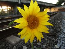 Sun flower train tracks sunny hop out rocks rails royalty free stock photo