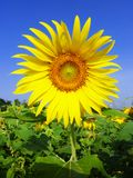 Sun flower is type of tree. And have yellow color stock photo