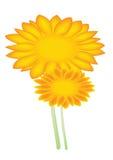 Sun flower vector. Illustration of yellow sunflower on white background Royalty Free Stock Photos