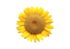 Sun flower on white backgroud. Royalty Free Stock Images