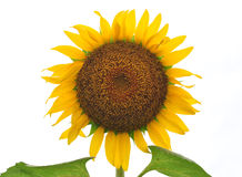 Sun flower with white background Royalty Free Stock Photo