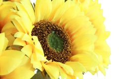 Sun flower in white background Stock Images