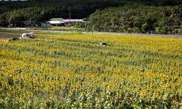 Sun flower. Wonderful yellow sun flower field Stock Photos