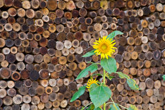 Sun flower with wood stack Royalty Free Stock Photography