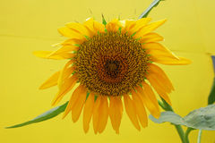 Sun flower and yellow background Royalty Free Stock Photos