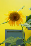 Sun flower and yellow background Stock Photo