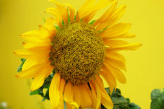 Sun flower and yellow background Royalty Free Stock Images
