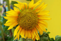 Sun flower and yellow background Stock Images