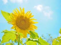 Sun flower. Yellow sun flower with clear sky Stock Photos