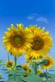 Yellow flowers. Sun flower yellow flowers royalty free stock photos
