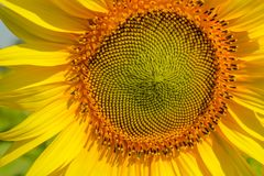 Yellow flowers. Sun flower yellow flowers royalty free stock images