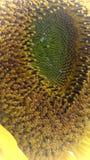 Sun flower. Yellow sun flower full Sonnenblume Royalty Free Stock Images