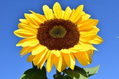Sun Flower, Yellow, Summer, Blossom Stock Images