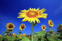 The Sun of Flowers Stock Images