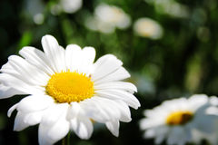 Sun Flowers. Two camomile flowers on blur background royalty free stock photos
