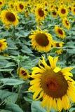Sun-flowers Royalty Free Stock Photo