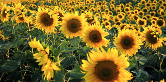 Sun flowers. In the sunrises Stock Images