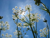 Sun and flowers. Field flowers on blue sky and sun. Backlight Royalty Free Stock Images