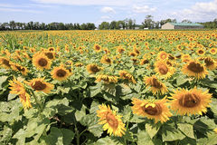 Sun Flowers. Acres of  yellow Sun Flowers on farm Stock Image