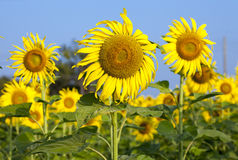 Sun flowers against blue sky Royalty Free Stock Image
