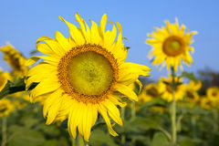 Sun flowers against blue sky Stock Images