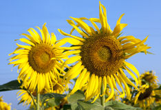 Sun flowers against blue sky Royalty Free Stock Photos