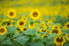 Sun flowers. With blue background Royalty Free Stock Photography