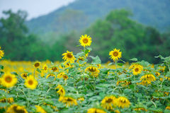 Sun flowers. With blue background Royalty Free Stock Photo