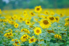 Sun flowers. With blue background Stock Image
