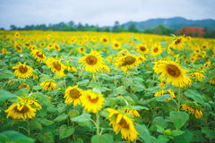 Sun flowers. With blue background Royalty Free Stock Image