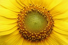 Sun flowers with detail on pistil. Yellow colour stock image