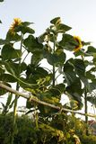 Three tall sunflowers and dill plant royalty free stock photography
