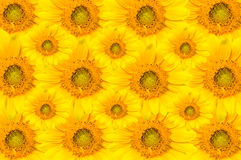 Sun flowers Stock Photography