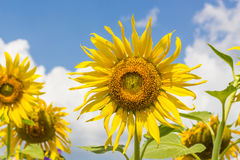 Sun flowers Stock Photo