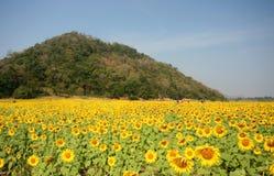 Sun flowers field Stock Photos