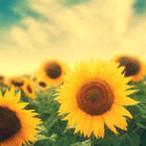 Sun flowers in field. Photo with retro colors royalty free stock photos