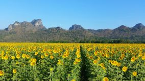 Sun flowers field  blooming at Lopburi town area, Thailand. Beautiful sunflowers blooming with mountain background at Lopburi town area,Thailand Royalty Free Stock Image