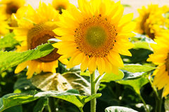 Sun flowers field Royalty Free Stock Images
