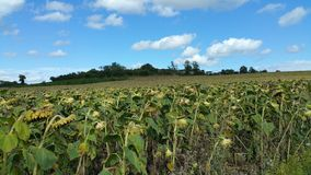 Sun flowers in field. Field of sunflowers under blue sky with fluffy white clouds Royalty Free Stock Photos