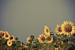 Sun flowers field in Thailand royalty free stock photos
