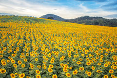 Sun flowers field. In Thailand. sunflowers Stock Image